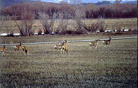 Cokeville Meadows NWR Mule Deer.jpg