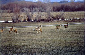 Cokeville Meadows National Wildlife Refuge - Image: Cokeville Meadows NWR Mule Deer