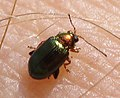 Coleoptera (3466871402).jpg
