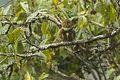Collared Owlet - Sela Pass - Arunachal Pradesh - India FJ0A9647 (33461097244).jpg