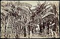 Collectie Nationaal Museum van Wereldculturen TM-60062250 Oogst van bananen en suikerriet Jamaica A. Duperly & Sons (Fotostudio).jpg