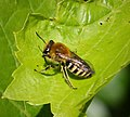 Colletes hederae. Ivy Bee (37189569375).jpg