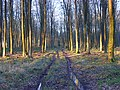 Collingbourne Woods - geograph.org.uk - 695024.jpg