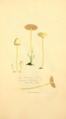 Coloured Figures of English Fungi or Mushrooms - t. 128.png