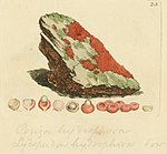 Coloured Figures of English Fungi or Mushrooms - t. 23.jpg