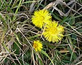 Coltsfoot - geograph.org.uk - 400194.jpg