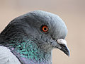 Columba livia (Madrid, Spain) 006.jpg
