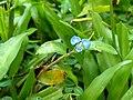 Commelina clavata- Willow Leaved Dayflower 2.jpg