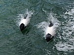Commerson's dolphins (Cephalorhynchus commersonii) in the Strait of Magellan.jpg