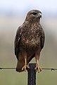 Common Buzzard (Steppe Buzzard), Buteo buteo vulpinus, on a fence along the R42, Gauteng, South Africa (32731314492).jpg