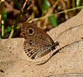 Common Fivering. Ypthima baldus. Nymphalidae. - Flickr - gailhampshire.jpg
