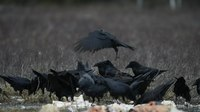 File:Common Ravens at a feeding site.webm