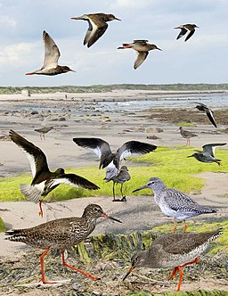 Common Redshank from the Crossley ID Guide Britain and Ireland