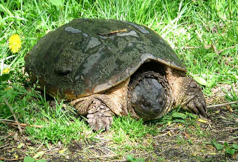 File:Common Snapping Turtle, female.jpg