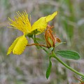 Common St. John's-Wort (Hypericum perforatum) - Oslo, Norway 2020-08-29 (01).jpg