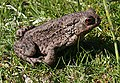Common Toad (Bufo bufo) - geograph.org.uk - 820036.jpg