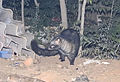 Common or Asian Palm Civet Paradoxurus hermaphroditus by Dr. Raju Kasambe (4).JPG