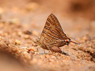 Spindasis ictis species of insect