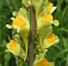 Common toadflax close 800.jpg