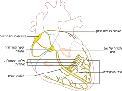 Conductionsystemoftheheart heb.png