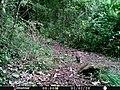 Conejo de monte (Sylvilagus cunicularius).jpg