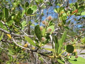 Conocarpus erectus - Conocarpus erectus var. erectus