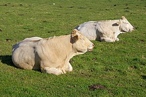 English: Contented Charolais