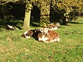 Contented longhorns on 'The Avenue' - geograph.org.uk - 597502.jpg