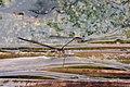 Copera vittata Blue Bush dart from Anaimalali hills DSC 2113 .jpg