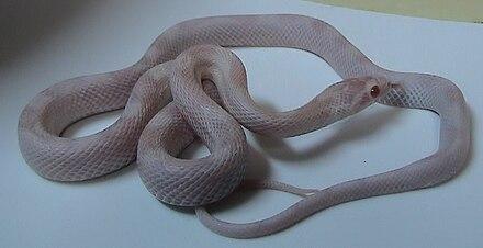 Corn snake - Wikiwand