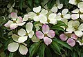 Cornus florida (flowering dogwood) (31681741022).jpg