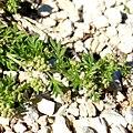 Coronopus didymum fruit (02).jpg