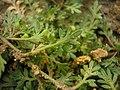 Coronopus didymus leaf (15).jpg