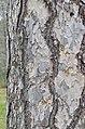 Corsican Pine Pinus nigra laricio Vertical Bark.JPG