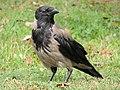 Corvus cornix (35697341680).jpg