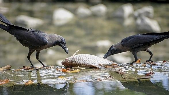 Corvus splendens feasting @ Kuala Lumpur (5s, p1).jpg
