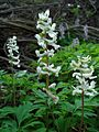 Corydalis cava white form 2.jpg