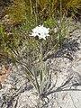 Corymbium villosum vBerkel 1.jpg