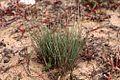 Corynephorus canescens plant (3).jpg