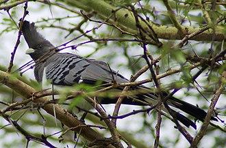 Turaco - Female white-bellied go-away-bird, Corythaixoides leucogaster