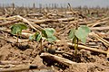 Cotton seedlings protected by grain sorghum stubble near Lubbock, Texas. (25090771096).jpg