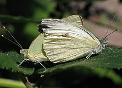 Couple of Pieris brassicae 8953.jpg