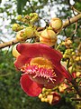 Couroupita guianensis - Cannon Ball Tree at Peravoor (55).jpg