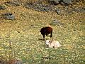 Cow in Kazbegi.jpg