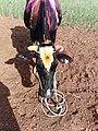 Cow of kathiripuram.jpg