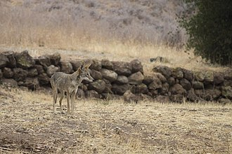 Satwiwa - Coyote at Rancho Sierra Vista.