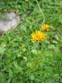 Crepis aurea.jpg