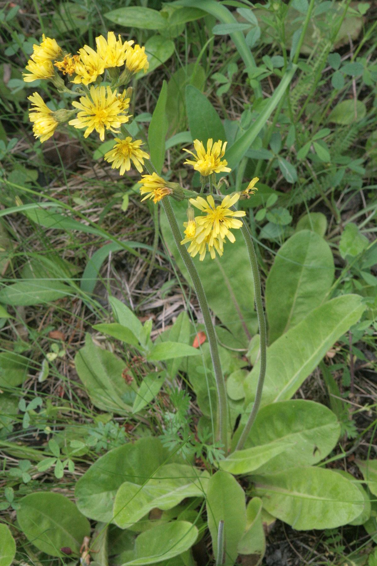 Crepis praemorsa - Wikispecies - Crepis