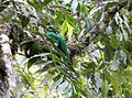 Crested Quetzal (Pharomachrus antisianus) (9499647052).jpg