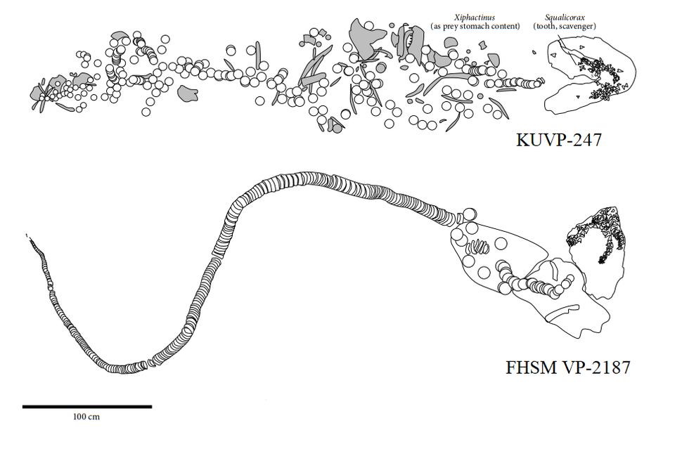 Cretoxyrhina skeletons KUVP-247 and FHSM VP-2187
